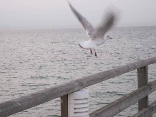 Und diese kleine Möve fliegt nach Helgoland? - Ich glaub`s ja nicht, so wie die hier auf der Seebrücke gefüttert werden.