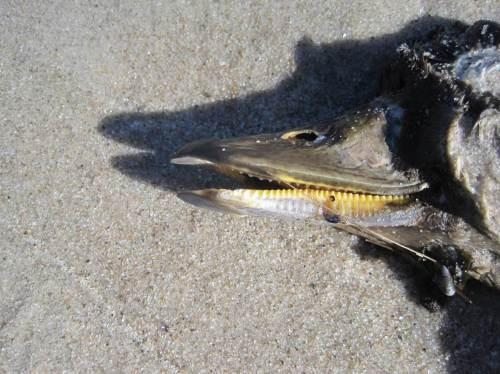 Schnatterente - mit solchen Zähnchen am Schnabel seihen die also die Nahrung aus dem Wasser.