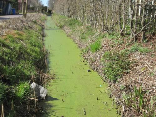 Es grünt so grün. - Entenflott als Schwimmdecke auf dem gesamten Graben.