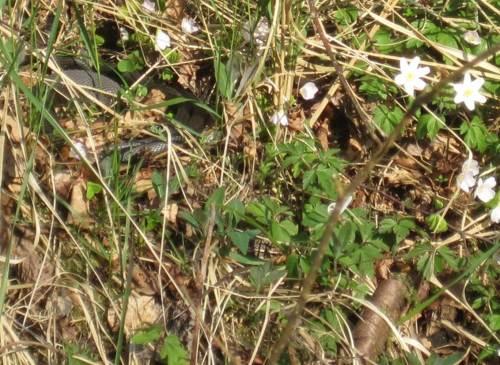 """Wer sieht die Ringelnatter im trockenen Gras? - Nachdem wir einen Hügel daneben schon """"ein Kind"""" aufge-/verscheucht hatten, wollten wir diese wohl 1,50 m lange ausgewachsene Schlange nicht weiter stören."""