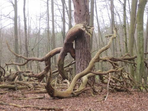 An anderer Stelle ist der langjährige Schutzcharakter des Gebiets erkennbar. Altbäume dürfen in den Naturkreislauf zurück kehren.