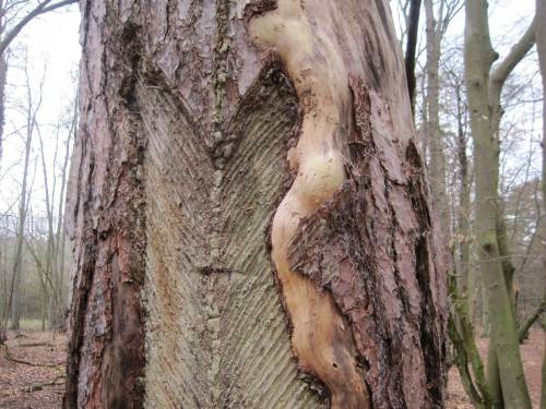 Frühere Nutzung hat manchem Baum ein vorzeitiges Ende gebracht.
