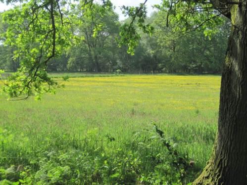 Die Feuchtwiesen im NSG Obere Wümmeniederung sind gelb vom Hahnenfuß. Feucht ist hier wegen Regenmangel allerdings nichts mehr - die Amphibien werden es dieses Jahr schwer haben.