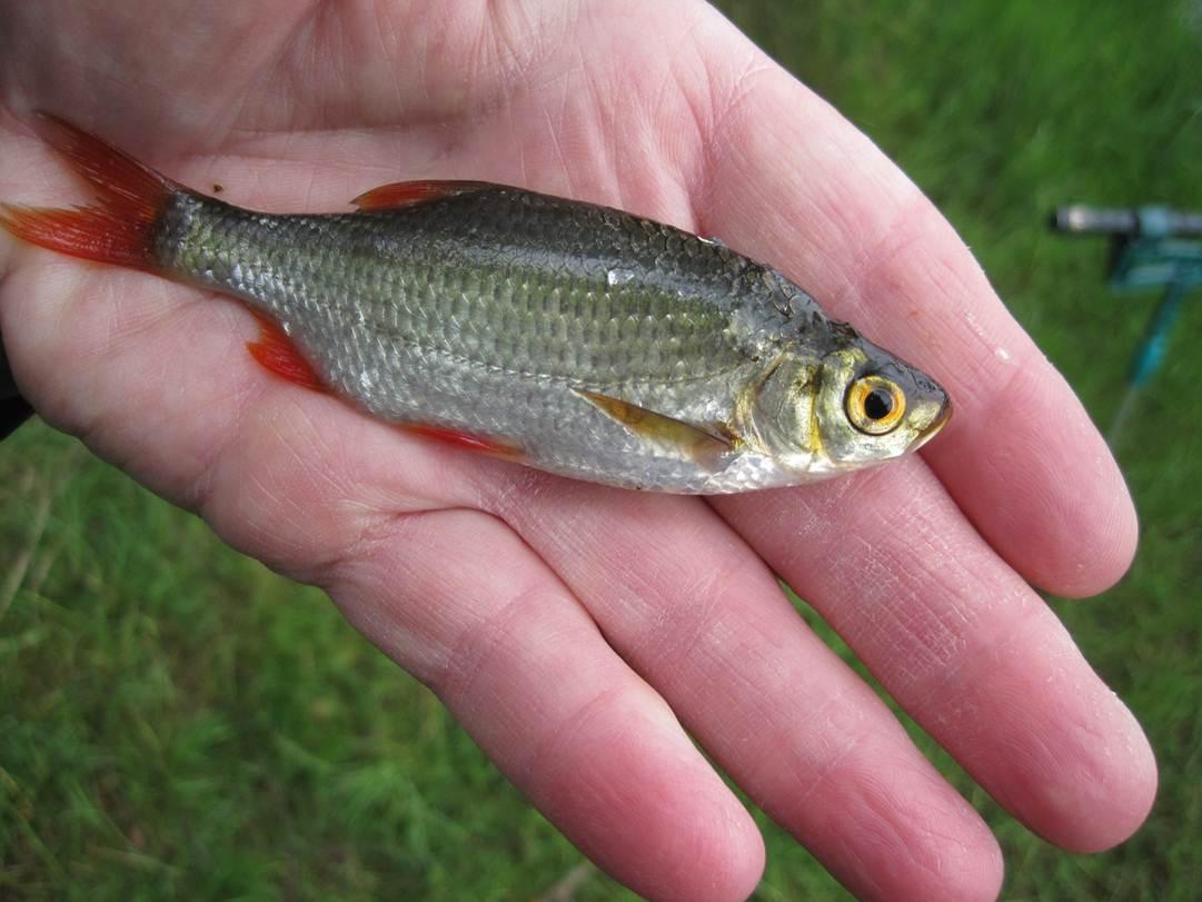 Fischbestimmung bitte um hilfe seite 2 hobby gartenteich for Rotfeder gartenteich