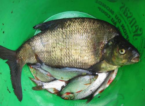 Dieser schöne Brassen war der größte Fisch des Tages.