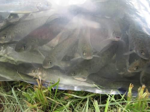 Nun wird es aber Zeit, dass die Fische aus den Transportbeuteln in ihren künftigen Lebensraum entlassen werden.
