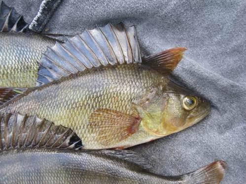 Porträt eines Flussbarschs mit der typischen Stachelflosse auf dem Rücken. Dahinter steht eine zweite mit normalen Flossenstrahlen.