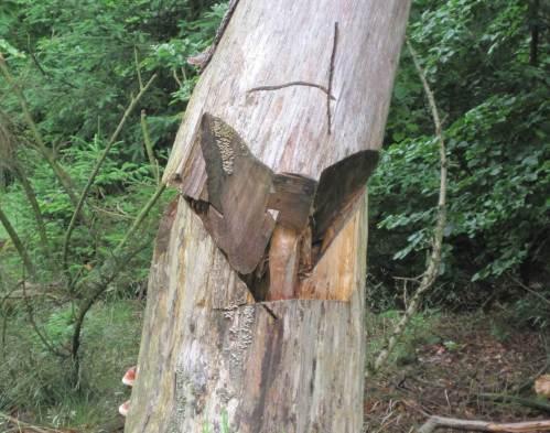 Sicherungsschnitt liess wegnahen toten Baum in die richtige Richtung fallen.