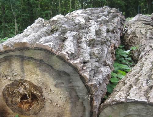 Naturskulptur Baum - mindestens so beeindruckend wie menschengemachte Skulptur.