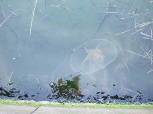 Die Qualle und die Fischschwärme treffen sich, driften aneinander vorbei.