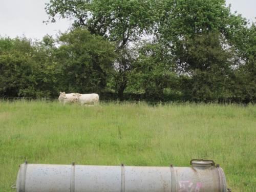 Rinder am Heidehang.