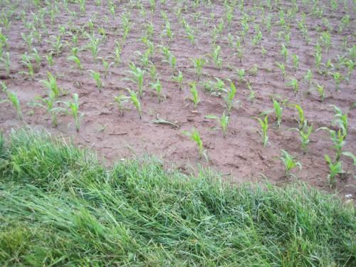 Und während ich noch über flächenhaft provozierte Erosion nachdenke (wann wird für Maisanbau mit seinen halbjährig frei liegenden Böden endlich Untersaat gefordert!?) ...