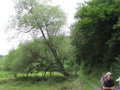 Diese mittelalte Weide regt zum Nachdenken an: Diskussion um Gewässerrandstreifen kann sich nicht auf 10 oder gar 5 m fixieren.