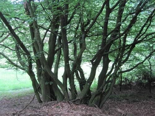 Niederwaldnutzung liess Multibäume entstehen - Hainbuche, wenn ich mich richtig erinnere.