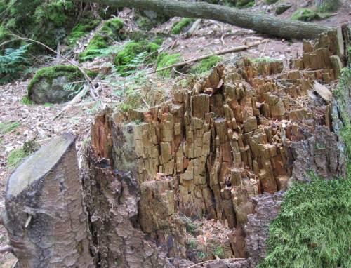 Holzstruktur im zerfallenden Baumstumpf.