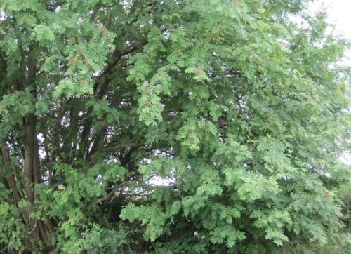 Und noch ein Niederwald-Multistammbaum: eine offenbar uralter Vogelbeerbaum.