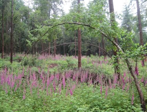 Wir gucken mal, wie es um den Baumkronenpfad steht - vorbei an Bogenbaum über Fingerhutflur.