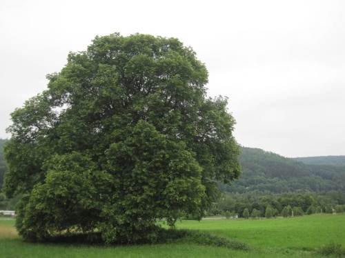 Wieder im Offenland nahe dem Nationalparkzentrum - eine beeindruckende alte Linde prägt die Landschaft.