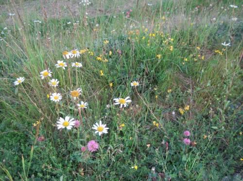 Wie schön, hier wieder die in unserer agrarsubventionierten EU-Landschaft so selten gewordenen Blüten zu sehen. - Nach all diesen Eindrücken geniessen wir im Nationalparkhaus - sehr zu empfehlen - Eis und / oder Kuchen.