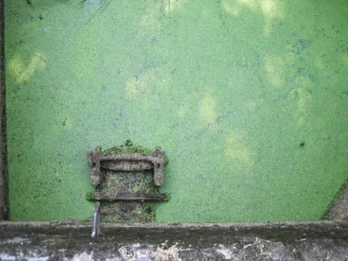 Pflanzliches - Wasserlinsendecke an Regendükerauslass. Man sieht, es hat lange nicht geregnet.