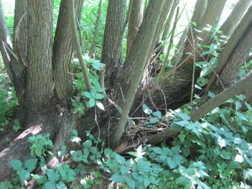 Meinen Schattenplatz bietet eine alte Baumweide, oft schon besägt.