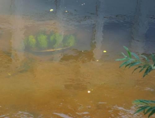 """Dies ist wohl der Beitrag """"Gärtnern im Heidebach"""" - 4er (oder mehr?) -Gruppe Wasserstern in Autoreifen, eingelagert in Sandgrund - der aus vielfältigen Bächen menschengemachten Wüste."""