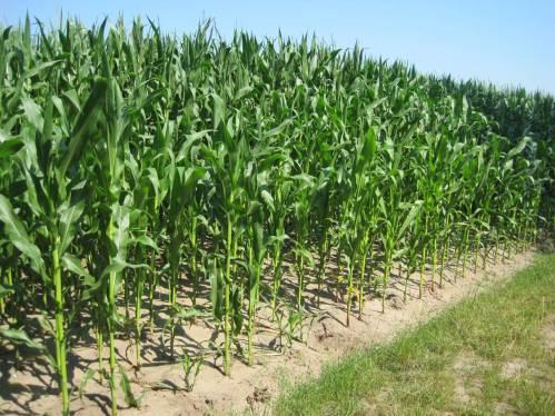 Mais wird nun bis in den späten Herbst unsere Horizonte bestimmen ... - Der Horizont ist beschränkt.