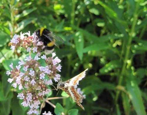 Zu Hause angekommen begrüßen mich Hummel und Schmetterling auf Pfefferminze. Nah ehrlich gesagt, das tun sie nicht, kümmern gar nicht um anderes als ihre Futterstelle.