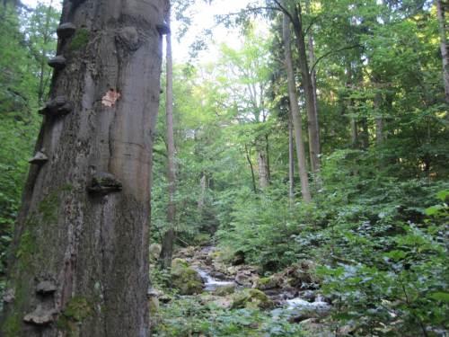 Die Ilse aber fließt in weiten Strecken durch Buchen-geprägten Laubmischwald.
