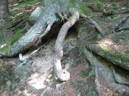 Eindrucksvoll immer wieder, wie Bäume am Hang sich auf Jahrzehnte sichern - und damit auch den Hang optimal vor Erosion schützen.
