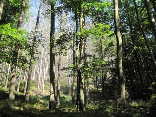 Borkenkäferwald - ganz nah auch an einigen Stellen im Ilsetal selbst.