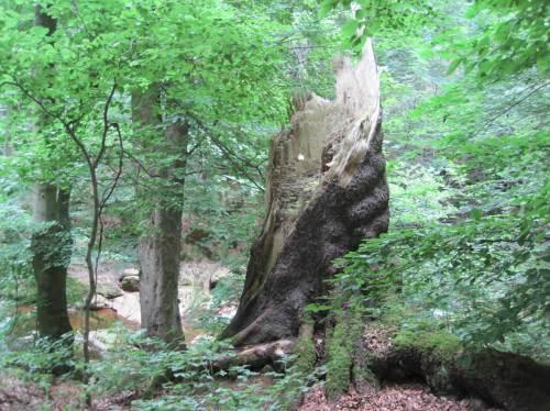 Beeindruckend die vielfältige Struktur vergehenden Totholzes.