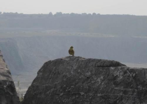 Auf dem Weg zur Rappbodetalsperre begegnet uns eine Goldammer an der Kante des großen Kalkabbaugebiets bei Elbingerode.
