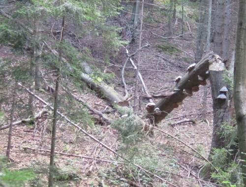 Baumschwamm positioniert sich immer waagerecht am Baum, Zeichen für Zeit des Wachstums und Bruch