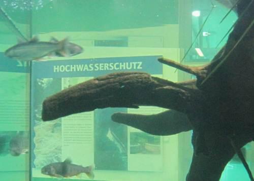 Hochwasserschutz, Blick durchs Aquarium mit Saiblingen