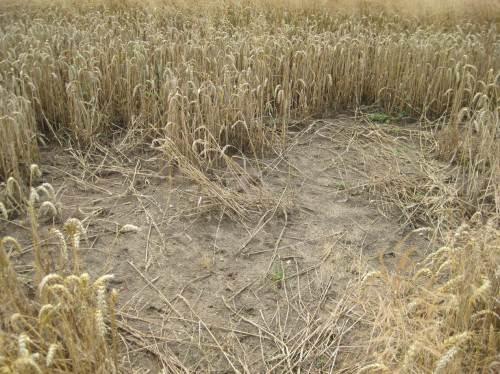 völlig von Ähren und Halmen geräumte Flächen im Kornfeld, von 1 bis 10 Quadratmeter
