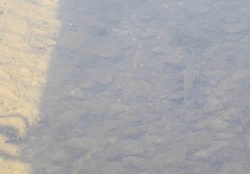 ALGENmassen, ganz schlecht, Forelle, Standort etwas freigestrudelt mit Flossen