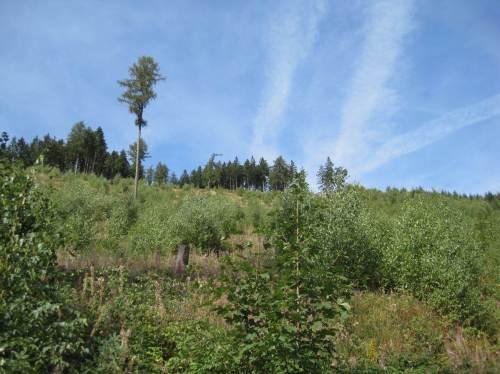 Baum-Sukzession, hier unten Birken-dominiert