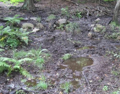 Wildschwein-Badewanne neben dem Weg