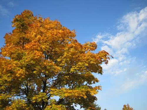 Spitzahorn in gelben Herbstfarben