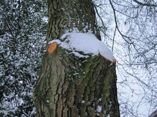 Anderswo liegen sicher ordentlich Schneewehen - wie die kürzlich bei Tiefbau gesägte Erle zeigt, wehte es den Schnee von Westen an.