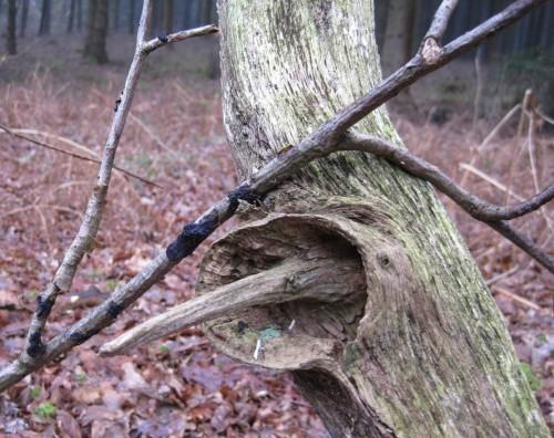 Totholz mit Ast-Dorn - das Umfeld sieht noch recht winterlich aus.