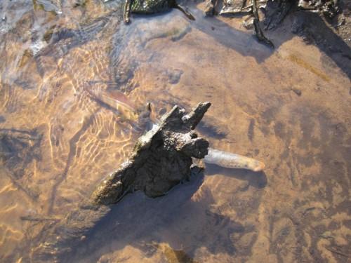 Offensichtlich haben die Flussneunaugen gelaicht - ein totes ist angetrieben.