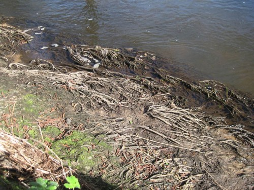 Bei Niedrigwasser frei gefallene Erlenwurzeln - hier ist der Erosionsschutz augenfällig. - Baumverlust bringt mit der Zeit auch Wurzelverlust, extreme Ufererosion setzt ein.