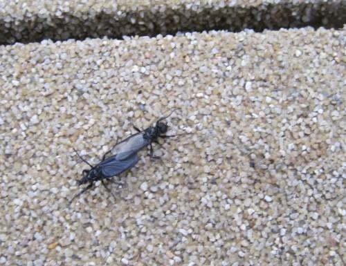 (Un)Massen haariger, langbeiniger Insekten - wer den Lebensraum anderer betritt, soll sich nicht beschweren. Zur Sorge besteht ohnehin kein Anlass, die gerade massenhaft schwärmende Trauermücke Sciara hat mit sich selbst genug zu tun.