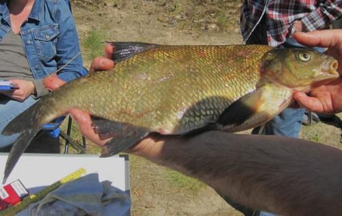 Der schönste goldene Fisch ragte von Durchmesser und Gewicht heraus.