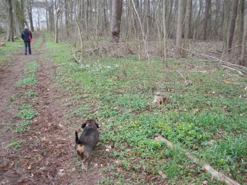 Mensch und Hund auf dem Weg zum Ostufer des Torgelower See - Frühlingsblüher im April-Mischwald auf Moräne.