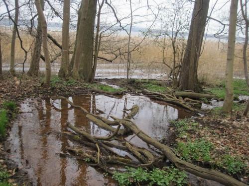 Schon bald erreicht der V-Tal-Bach über ein sumpfiges Gelände mit Wassereinstau seine Mündung in den Torgelower See.