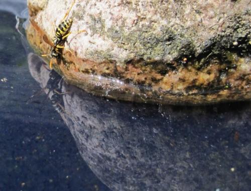 Mindestens sollten wir aber im Garten Trinkbares für unsere Mitbewohner bereithalten. Hier trinkt eine Wespe aus der Vogeltränke.