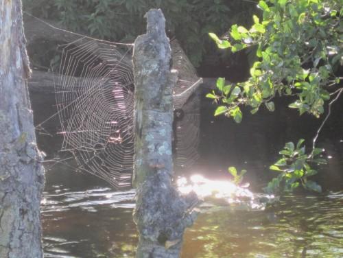 Fast schon herbstlich - Spinnennetz zwischen toten Erlenästen.